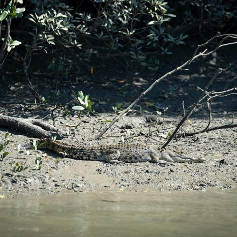 Saltwater Crocodile lying in sun