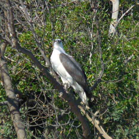 sea eagle kimberley birdlife