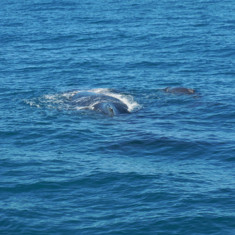 mother whale and calf kimberley coast marine life