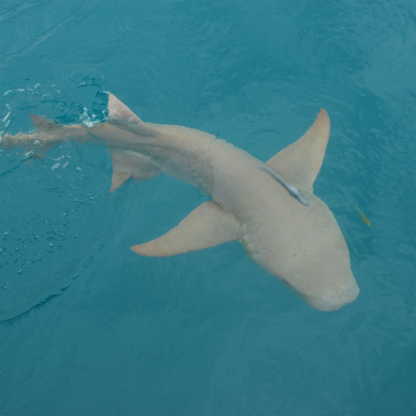 tawny nurse shark above water