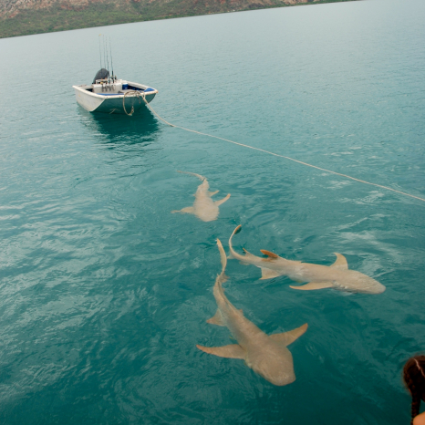 tawny nurse sharks following kimberley boat